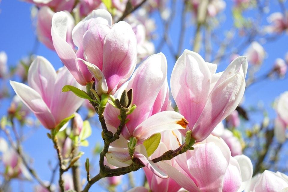 Fehér és lila liliomfa kapható