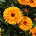 A gyulladáscsökkentő gyógynövények szerepe vitathatatlan
