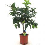 Citromfa vásárlás kedvező feltételekkel